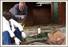 The David Sheldrick Wildlife Trust Updates Alamaya's surgery