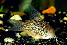 ... arabian killifish 404 not found 27 1 austen michaels freshwater