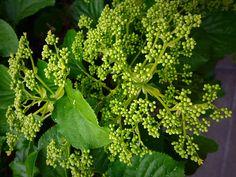 Kukan nuput Herbs, Nature, Naturaleza, Herb, Nature Illustration, Off Grid, Natural, Medicinal Plants