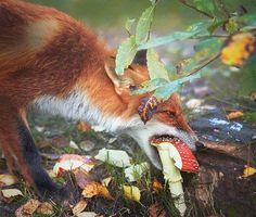 Red Fox Eating An Amanita Muscaria, Finland. Photography by Niko Pekonen (Thanks to Louise Dickson for this!) via william floyd