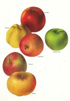 Vintage 1960s Apple Color Illustration Book Page to by niminsshop