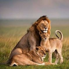 The lion (Panthera leo) is one in every of the large cats within the mammal genus and a member of the Felidae. Big Cat Family, Lion Family, Happy Family, Animals And Pets, Baby Animals, Cute Animals, Lion Pictures, Animal Pictures, Beautiful Cats