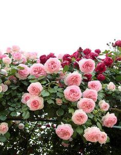 Des rosiers en pleine santé Planter Rosier, Climbing Roses, Permaculture, Floral Wreath, Planters, Wreaths, Home Decor, Roses Garden, Artworks