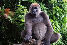 Gorille - régions Nigéria et Cameroun