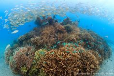 Coral reefs as they are now, when restored with GCRA Biorock® Technology --- Pemuteran, Bali --- 5 year old Biorock reef on formerly barren sand.