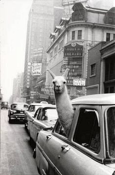 A Llama in Times Square. New York. - Inge Morath – Magnum Photos ~ we often take our llama on a road trip . Black Aesthetic Wallpaper, Gray Aesthetic, Black And White Aesthetic, Aesthetic Collage, Aesthetic Vintage, Aesthetic Girl, Nature Aesthetic, Black And White Picture Wall, Black And White Posters