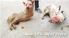 The dog meat trade continues to flourish in China in spite of numerous international protests. Rough estimates point out that...