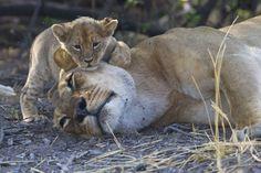 Löwin mit Jungem (2)