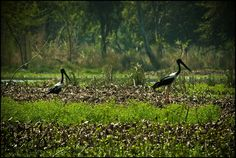 black necked storks at surajpur wetlands, greater noida, uttar pradesh