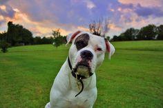 american bulldog!