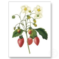 Starwberries Fragaria sp