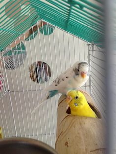 Pretty budgies with an interesting little hide