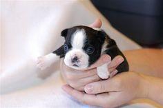 aaaawwwww!!! Boston Terrier puppy! By far my favorite dog in the world. So adorable <3