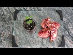 How to Grow a Pomegranate Tree from Seed. Works Every Time! - YouTube