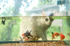 Fish and cats are a weird pair to be friends. Well, in truth, they can never be friends! But when you are both a fish and cat lover, it's hard to stop yourself from getting both of your favorite pets in your house. But is it really safe to have an aquarium when you already […] The post Is It Safe To Have An Aquarium If You Have A Cat? appeared first on The Catington Post. Big Aquarium, Funny Watch, Pretty Soon, Living With Cats, Fish Swimming, Fish Tank, Cat Lovers, Weird, Pets