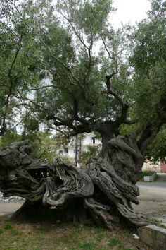 Olea europaea...Olivier dans le dorpsplein, Exo Chora, Grèce -