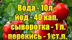 Уникальная подкормка для созревания помидоров! — Копилочка полезных советов