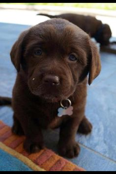 Chocolate lab puppy - Not only do I want one but I NEEEEEEED one!