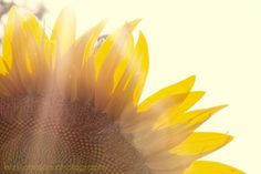 fine art flower photography yellow flower sunlight wall art home decor Sunflower 8x12 IN STOCK. $28.00, via Etsy.