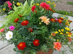 Marigolds, moss rose, sweet potato vine and dahlias -- Portulaca and marigolds are two of the most drought tolerant annuals. The airy textured marigolds will deter aphids. Full sun; water when top inch of soil is dry.