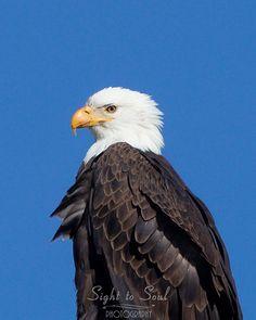 Bald Eagle Picture Bird Wall Art Wildlife Photography Fine Art Print