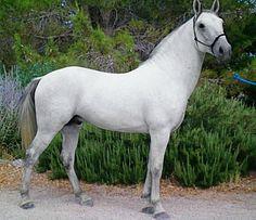 Lipizzaner stallion, Maestoso Fadra.