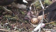 Osprey Babies Debut, Hog Island ,Maine, I watch this website every spring waiting for Rachael and Steve to return to their nest.