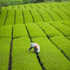 Tea quality checking before the picking day, Shizuoka, Japan by ippei + janine, via Flickr