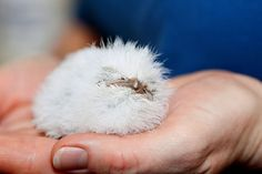The World's Cutest Owl Look-Alike Is The Tawny Frogmouth (15+ Pics) | Bored Panda