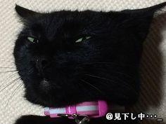 """""""今日の見下し顔!  今日のミミは・・・非常に機嫌が悪いデス。  『人をさげすんだ目』ってこういう目の事ですよね・・。  女性の機嫌はコロコロ変わりやすいものですね!  皆様、今週もお疲れ様でした^^  #猫 #ネコ #ねこ #猫好きさんと繋がりたい #cat #変猫が好きな人RT"""""""