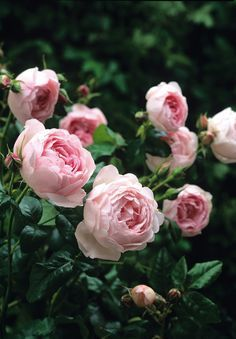 One of David Austin's Top 10 Most Fragrant English Roses:• Rosa 'Scepterd Isle' is beautiful soft pink rose.