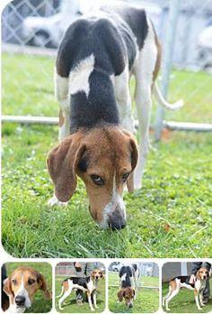 7 Best Ariege Pointer Images Hound Dog Puppies Hound Dog Dogs