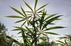 Outdoor Marijuana Growing Tips For Summer