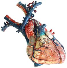 Anatomical model of the human heart