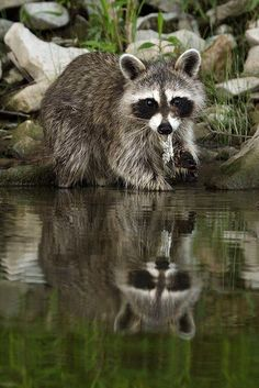 Raccoon at water's edge