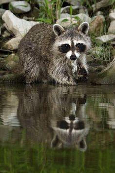 Raccoon at water's edge