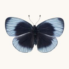 Butterfly Photo No. 9 - Callithea philotima - Charles Darwin Butterfly Print