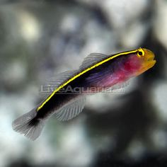 Gold Line Goby, Captive-Bred, solitary