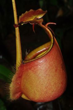 Pitcher plant (Nepenthes bicalcarata) ˚