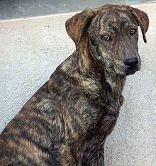 mountain cur--looks just like my Christopher!