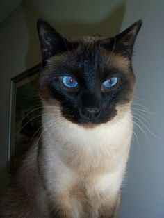 Everyone should have a Siamese cat like my sweet Jeb. #SiameseCat