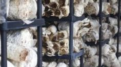 If you have ever wanted to grow mushrooms to save money buying them, you might also consider growing them as a small start-up business. Once you learn the basics of mushroom. Garden Mushrooms, Edible Mushrooms, Growing Mushrooms, Stuffed Mushrooms, Mushroom Spores, Mushroom Cultivation, Culture Champignon, Organic Protein, Grow Organic