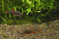 The Celestial Pearl Danio: A Cautionary Tale | Freshwater | Feature Articles | TFH Magazine®