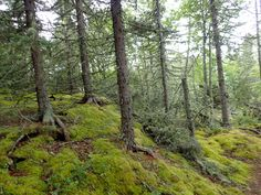 Green moss on trees, Pukaskwa National Park, Lake Superior Rainbow Falls, Lake Superior, Beautiful Paintings, National Parks, Trees, Mountains, Wood Illustrations, Wood, Bergen