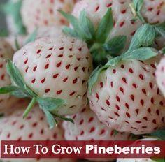 How To Grow Pineberries - Sweet taste just like pineapple...