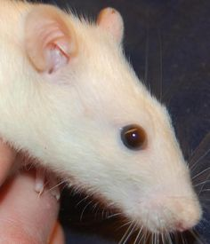 Haley - URGENT - City of Mississauga Animal Shelter in Mississauga, Ontario - ADOPT OR FOSTER - Adult Female Rat