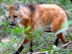 The Maned Wolf (Chrysocyon brachyurus) is this week's Amazing Species! Did you know they eat mostly fruit? Photo © Edu Fortes
