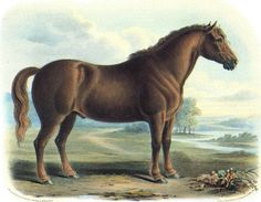 BRITISH DRAUGHT HORSES IN THE 19TH CENTURY - includes sketches of road horses, cart horses, dray horses, coach horses etc... and their breeds.