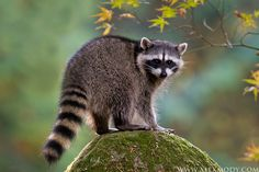 RACCOON -  Olympia, Washington, USA  -  A Raccoon perched atop a rock outside of my home in Olympia, Washington  -  Photo © copyright by Alex Mody