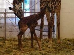 "Cute little baby giraffe at the Cincinnati Zoo. Her name,""Lulu,"" means ""precious"" in Swahili."